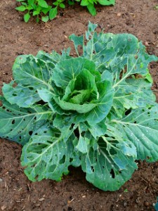 Damage done by caterpillars of the Cabbage White Butterfly.  Ref: smallholdingpleasureorprofit.blogspot.com.au