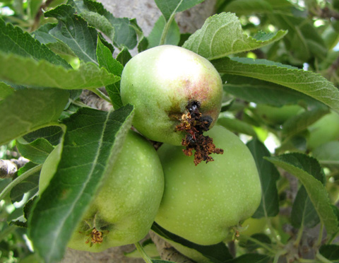 Codling moth pest management is part of Globalnet Academy's Horticulture Certificate courses in tasmania