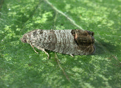Now Is The Time To Control Codling Moth In Tasmanian