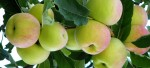 Apples and Pears – Pruning for the future.