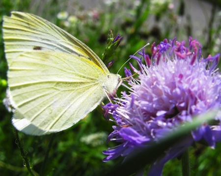 how to get rid of cabbage white butterfly